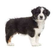 Australian Shepherd puppy, 8 weeks old, standing Royalty Free Stock Images