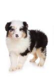 Australian Shepherd puppy Stock Image
