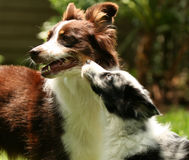 Australian Shepherd puppy and adult Royalty Free Stock Image