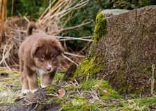 Australian shepherd puppy. Australian Shepherd purebred dog on meadow in autumn or spring, outdoors countryside. Red Tri color Aussie puppy, 2 months old Stock Photography