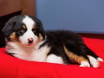 Australian shepherd puppy. Australian Shepherd purebred puppy, 2 months old on the lair. Black Tri color Aussie dog at home royalty free stock photography