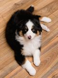 Australian shepherd puppy. Australian Shepherd purebred puppy, 2 months old looking at camera - close-up portrait. Black Tri color Aussie dog at home Royalty Free Stock Photography
