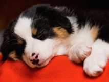 Australian shepherd puppy. Australian Shepherd purebred puppy, 2 months old sleeping on the lair. Black Tri color Aussie dog at home royalty free stock photos