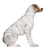 Australian Shepherd puppy in bandages Stock Photos