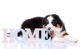 Australian shepherd puppy. Beautiful Australian Shepherd purebred puppy, 2 months old with Home word. Happy black Tri color Aussie dog, isolated on white Stock Photo