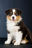 Australian shepherd puppy on black background Royalty Free Stock Photo
