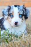 Australian Shepherd Puppy - Blue Merle. A blue merle Australian Shepherd puppy with light blue eyes sits in the grass stock image