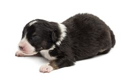 Australian Shepherd puppy, 10 days old. Lying against white background stock photo