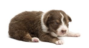 Australian Shepherd puppy, 18 days old royalty free stock image