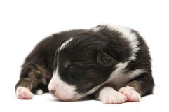 Australian shepherd puppy, 12 days old. Lying and sleeping against white background royalty free stock image