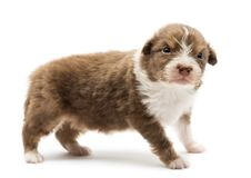 Australian Shepherd puppy, 22 days old. Standing with an angry look against white background stock photos