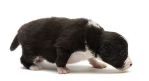 Australian Shepherd puppy, 18 days old. Walking and tracking against white background stock photo