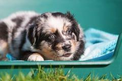 Australian Shepherd puppy in a dog basket Stock Photo