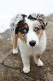 Australian Shepherd Puppy Dog. With blue eyes and spots outside in the snow royalty free stock image
