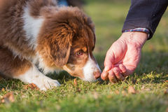 Australian Shepherd puppy gets a treat Royalty Free Stock Images