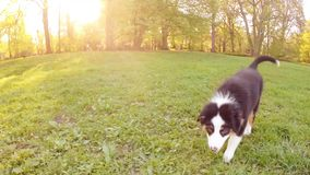 Australian shepherd puppy. Happy Aussie dog runs on meadow with green grass in summer or spring. Beautiful Australian shepherd puppy 3 months old running and stock footage
