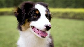 Australian shepherd puppy. Happy Aussie on meadow with green grass in summer or spring. Beautiful Australian shepherd puppy 3 months old - portrait close-up stock video footage