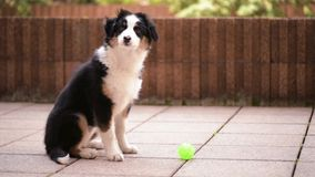 Australian shepherd puppy. Happy Aussie with small green ball. Cute dog - beautiful Australian shepherd puppy 3 months old playing at outdoors stock video