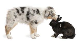 Australian Shepherd puppy licking a rabbit royalty free stock photo