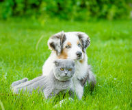Australian shepherd puppy lying with a cat on the green grass royalty free stock images