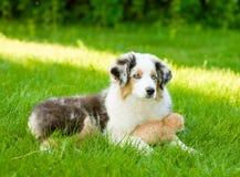Australian shepherd puppy lying with a kitten on the green grass Royalty Free Stock Photos
