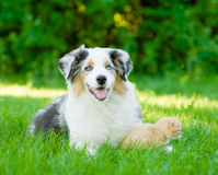 Australian shepherd puppy lying with a kitten on the green grass Stock Images