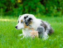 Australian shepherd puppy lying with tiny kitten on the green gr Stock Image