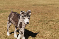 Australian shepherd puppy mix Royalty Free Stock Image
