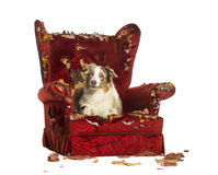 Australian Shepherd puppy, 10 months old, lying on a detroyed armchair Royalty Free Stock Image