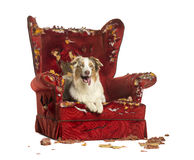 Australian Shepherd puppy, 10 months old, lying on a detroyed armchair Stock Image