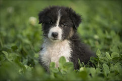 Australian Shepherd puppy outdoors Royalty Free Stock Images