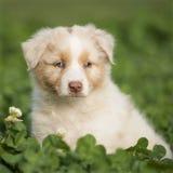 Australian Shepherd puppy outdoors Stock Photo