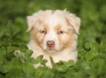 Australian Shepherd puppy outdoors Stock Image