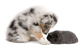 Australian shepherd puppy playing with guinea pig Stock Images