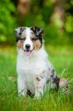 Australian shepherd puppy portrait Royalty Free Stock Images