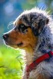 Australian Shepherd puppy portrait Stock Photography