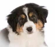 Australian shepherd puppy Royalty Free Stock Image