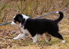 Australian shepherd puppy. Australian Shepherd purebred dog on meadow in autumn or spring, outdoors countryside. Black Tri color Aussie puppy, 2 months old Stock Photography