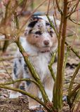 Australian shepherd puppy. Australian Shepherd purebred dog on meadow in autumn or spring, outdoors countryside. Blue Merle Aussie puppy, 2 months old Royalty Free Stock Image