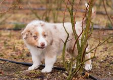 Australian shepherd puppy. Australian Shepherd purebred dog on meadow in autumn or spring, outdoors countryside. Red Merle Aussie puppy, 2 months old Stock Images