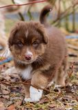 Australian shepherd puppy. Australian Shepherd purebred dog on meadow in autumn or spring, outdoors countryside. Red Tri color Aussie puppy, 2 months old Royalty Free Stock Photography