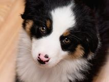 Australian shepherd puppy. Australian Shepherd purebred puppy, 2 months old looking at camera - close-up portrait. Black Tri color Aussie dog at home Royalty Free Stock Photos