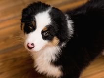 Australian shepherd puppy. Australian Shepherd purebred puppy, 2 months old looking at camera - close-up portrait. Black Tri color Aussie dog at home Stock Image