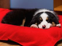 Australian shepherd puppy. Australian Shepherd purebred puppy, 2 months old sleeping on the lair. Black Tri color Aussie dog at home royalty free stock images