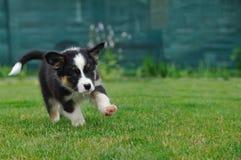 Australian Shepherd puppy running. On the green grass Royalty Free Stock Photo