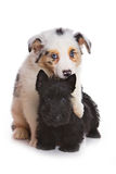 Australian Shepherd puppy and Scottish terrier Royalty Free Stock Photography