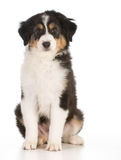 Australian shepherd puppy Stock Photography