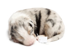 Australian Shepherd puppy sleeping. With price tag, 11 days old against white background royalty free stock photography