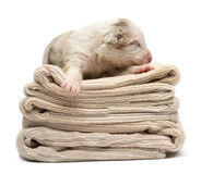 Australian Shepherd puppy sleeping. On a pile of towels, 12 days old against white background royalty free stock images