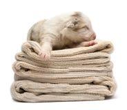 Australian Shepherd puppy sleeping Royalty Free Stock Images